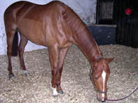 Relaxed racehorse after acupunture